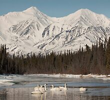 Trumpeter Swans on Pine Creek, Yukon by Marty Samis