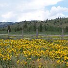 Field of Wild Sun Flowers by Kim Hajdu