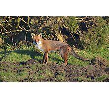 The Cornish Fox Photographic Print