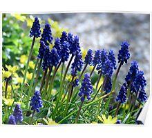 Muscari - Grape Hyacinth Poster