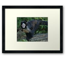 Buffy-Headed Capuchin Monkey Framed Print