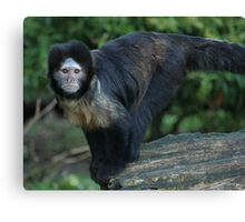 Buffy-Headed Capuchin Monkey Canvas Print