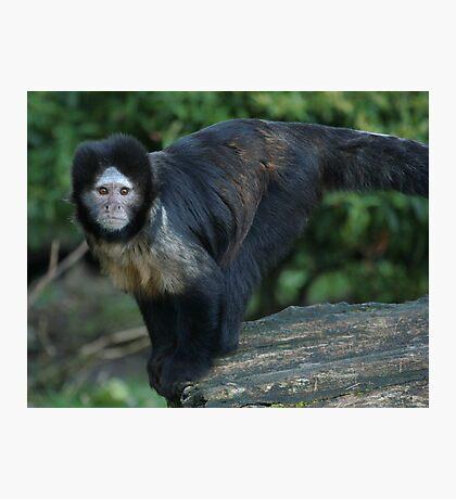 Buffy-Headed Capuchin Monkey Photographic Print