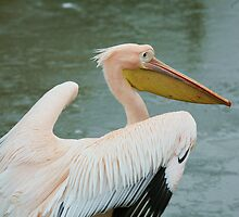 Eastern White Pelican by Franco De Luca Calce