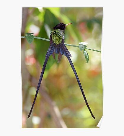 Jamaican Streamertail Hummingbird #2 Poster