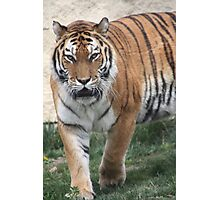 Boise Tiger Photographic Print