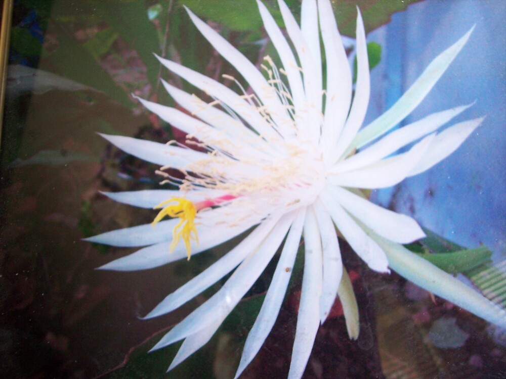 Night blooming Cereus Cactus Flower by seemyshots