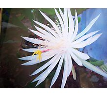 Night blooming Cereus Cactus Flower Photographic Print