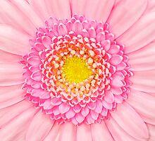 Pink Gerbera Flower Macro by MMPhotographyUK