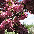 Crab Apple Blossoms by Linda Miller Gesualdo