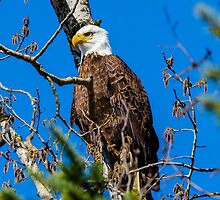 Bald Eagle  by RevelstokeImage