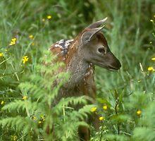 Virginia Deer Fawn by Les Pullen