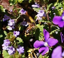 Honey Bee phloxing by paulboggs