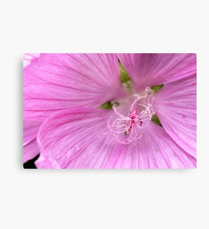 Pink Annual Mallow Canvas Print