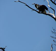 Bald Eagle Spreading his Wings by EmmeElle