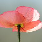 Orange Sherbert Poppy 2  by SKNickel