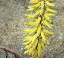 Aloe Flower Stalk by Christopher Johnson