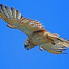Nankeen Kestrel in flight! by jozi1
