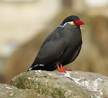 Inca Tern by Pastis