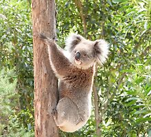 'FLUFFY EARS!' The wary Koala. Mount Lofty Botanic Gardens. by Rita Blom