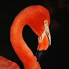 Flamingo by AcePhotography