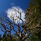 Interesting tree branches against blue sky and white clouds. floral nature garden photography. by naturematters