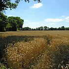 Ripe wheat awaiting harvest in the August sunshine, English Midlands by Philip Mitchell