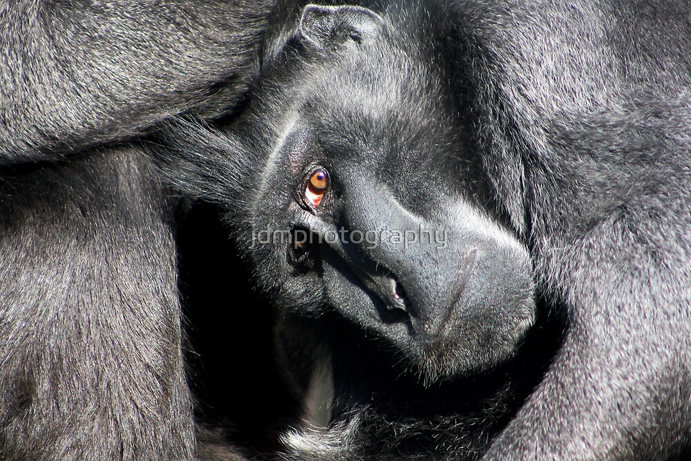 Sulawesi crested macaque  by jdmphotography