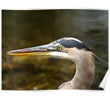A Friendly Great Blue Heron Poster