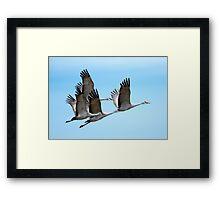 Four Sandhill Cranes fly in Unison over Eastern Washington USA Framed Print