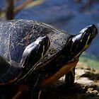 A Pair of Turtles by Stephen Beattie