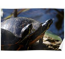 A Pair of Turtles Poster