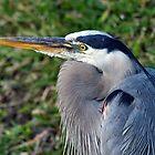 Great Blue Heron - Resting by Stephen Beattie