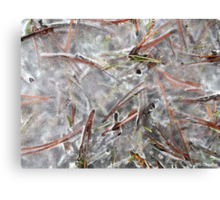 Pine Needles in Early Spring Ice, Canada Canvas Print