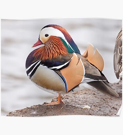 Mandarin Duck  1 Poster