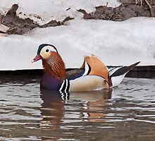 Mandarin Duck  4 by lloydsjourney