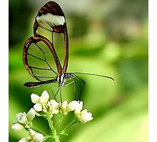 Glasswing Butterfly Visit Photographic Print