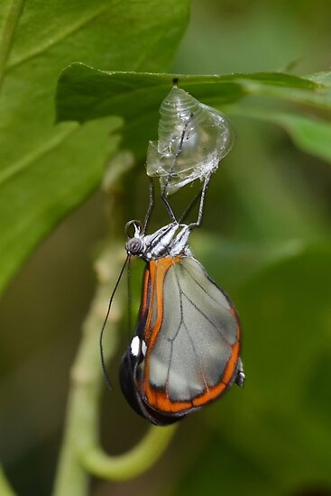 How Glasswings are made.............. by Macky