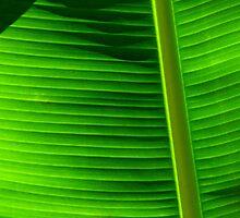 Banana Palm by Brightwarrior