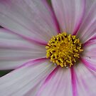 Cosmos sp. by Julie Sherlock