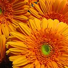 Orange Gerberas by Carole Brunet