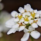 White Candytuft by Kathleen Daley