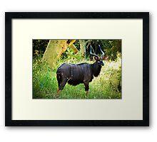 Kudu, Malawi Framed Print