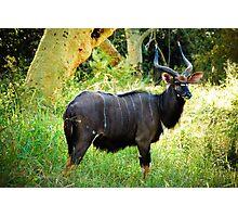 Kudu, Malawi Photographic Print