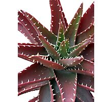 Red-Green Aloe 6 Photographic Print