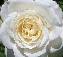 pure white rose by ashroc