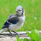 Baby Bluejay by Brian Dodd