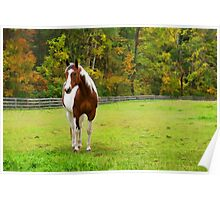 Charming Pinto Horse Poster