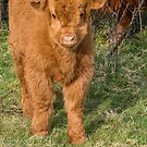 Little Highland Calf by M.S. Photography/Art