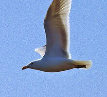Seagull by Scott A. Ray